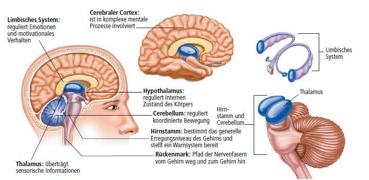 Gehirnstrukturen